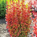 Berberis-orange-rocket