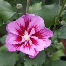 Hibiscus-Purple-Pillar1