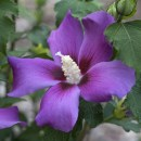 Hibiscus-purple-satin9