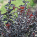 Physocarpus Summer Wine Black
