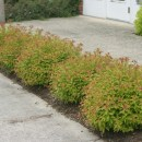 Spiraea gold flame