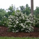 Spiraea-wedding-cake