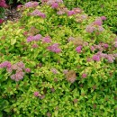 Spiraea_Lightning_Strike