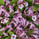 Weigela Snippet Lime
